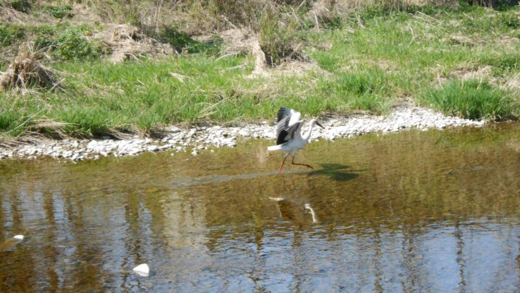 Stork in a shallow river