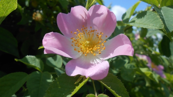 Rose blossom photo